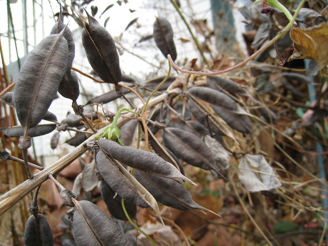 Baptisia australis dried seedpods