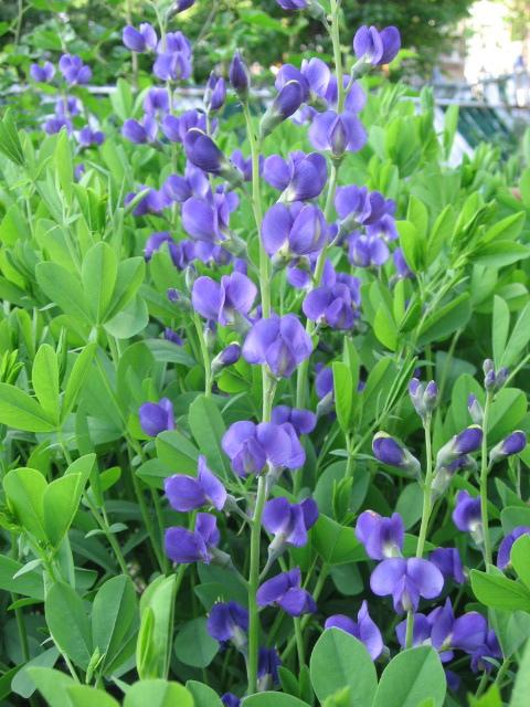 Baptisia australis flowers