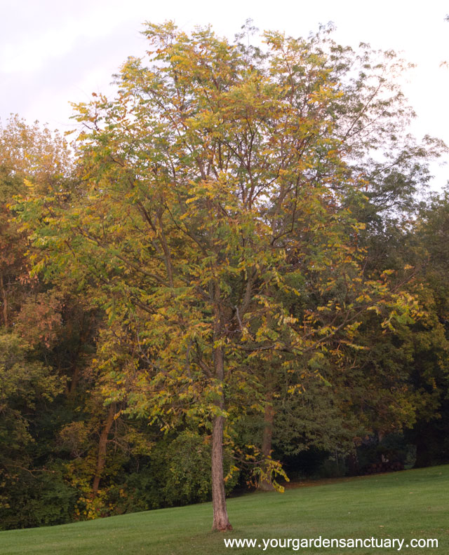 Gymnocladus dioicus 'Espresso' in fall
