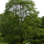 Espresso Kentucky Coffeetree, an under used shade tree