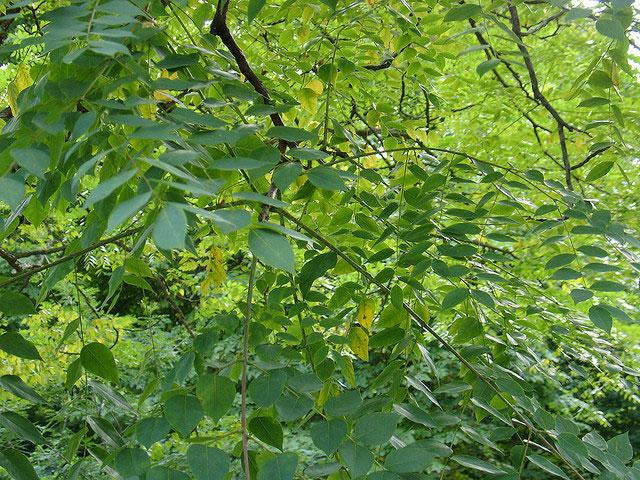 Gymnocladus dioicus foliage