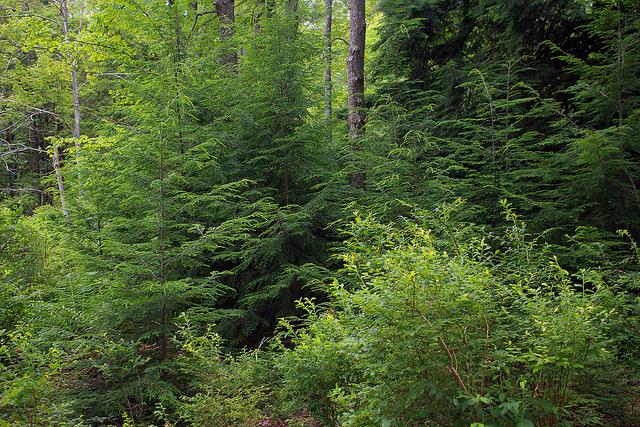 Canadian hemlocks in their natural environment