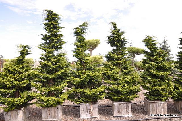 Japanese garden plant Koster's False Cypress (Chamaecyparis obtusa 'Kosteri')