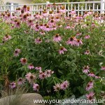 Planting cheaper perennials