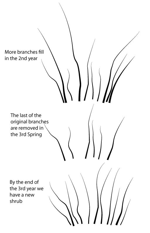 Thinning-2nd-diagram of cane type shrubs