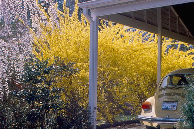 An overgrown cane type shrubs forsythia used as screen