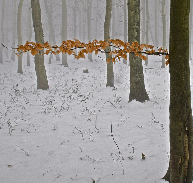 Beech tree leaves in winter