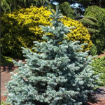 Blue and yellow evergreens