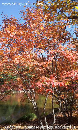 Small understory tree the Serviceberry (Amelanchier)