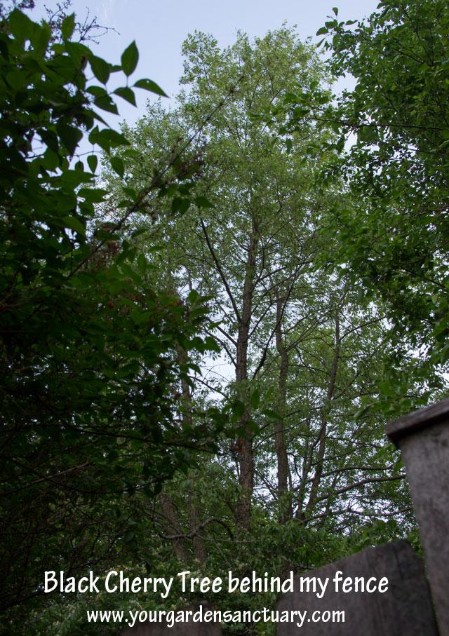 Woodland as garden inspiration Black cherry