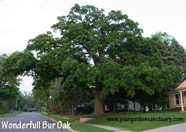 Woodland as garden inspiration Bur Oak