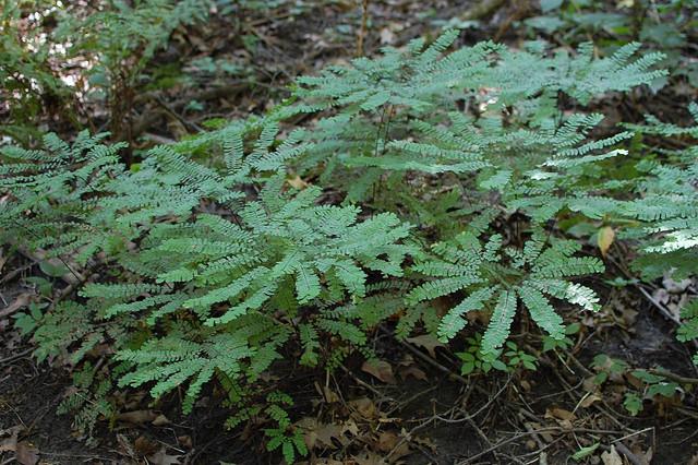 Woodland Inspired garden plants Maidenhair fern