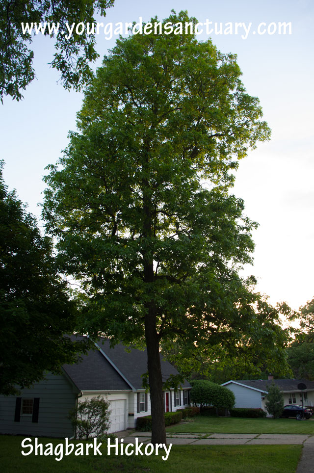 Shagbark Hickory is better as a tree for carbon sequestration in woodlands