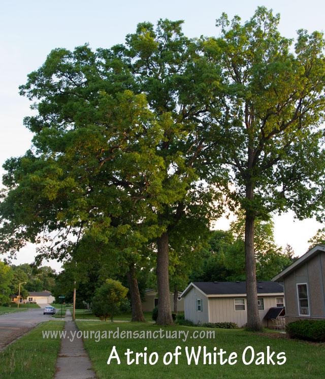 Woodland as garden inspiration White Oaks
