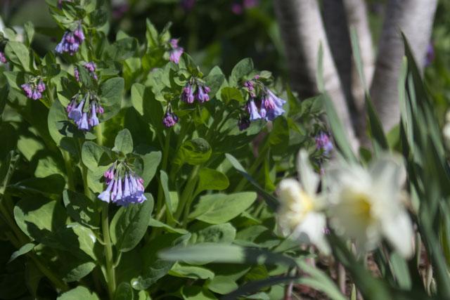Woodland inspired garden Virginia Bluebells Mertensia virginica