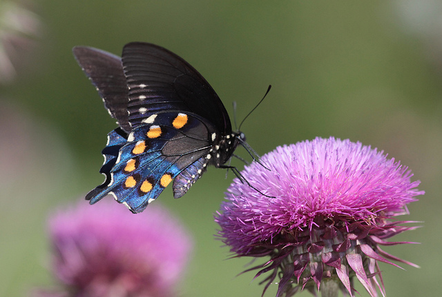 Canadian ginger alternative host to Pipevine swallowtail