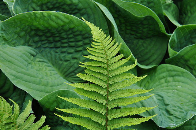 Plant texture Bold textured Hosta leaf and fine textured fern