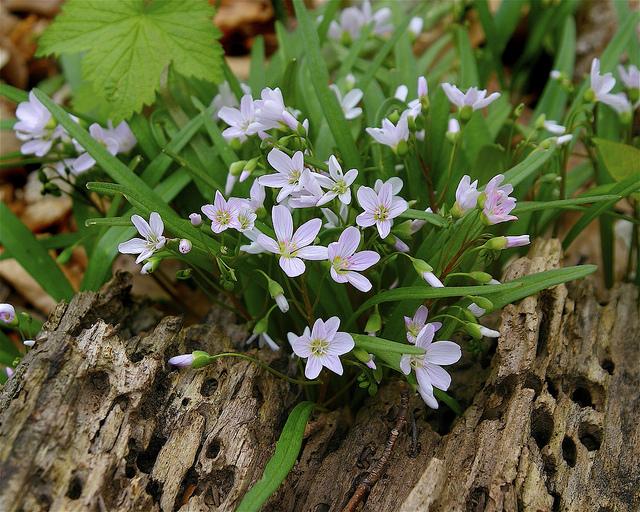Plant associate Spring Beauty