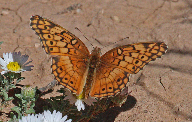 Plant associates can support native wildlife like species of Fritillary butterfly