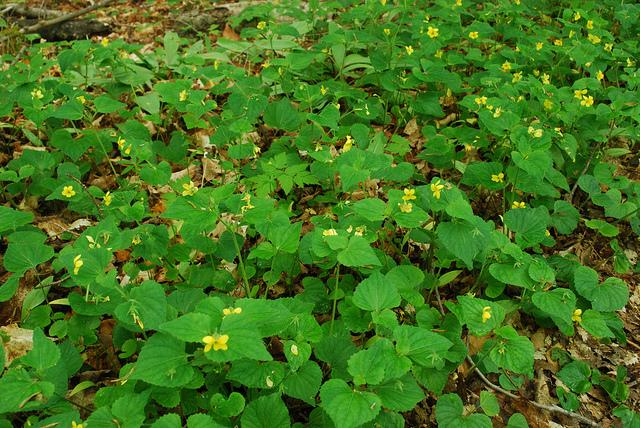 Plant associate Common yellow violet