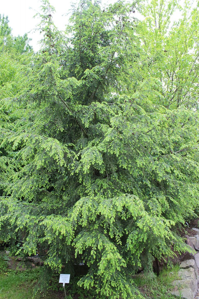 Landscape Design for Birds Canadian Hemlock