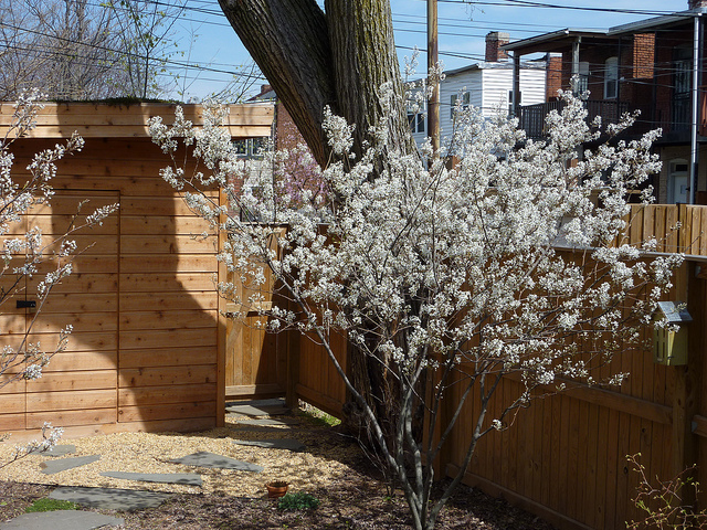 Backyard for attracting birds serviceberry