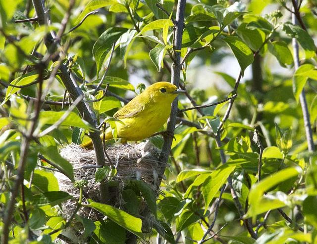 Yellow warbler nesting