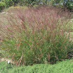 Switchgrass, a great native ornamental grass