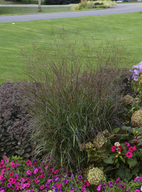 Panicum virgatum 'Cheyenne Sky' see Proven Winners.com for more info