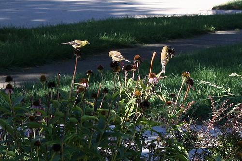 birds eating coneflower photo