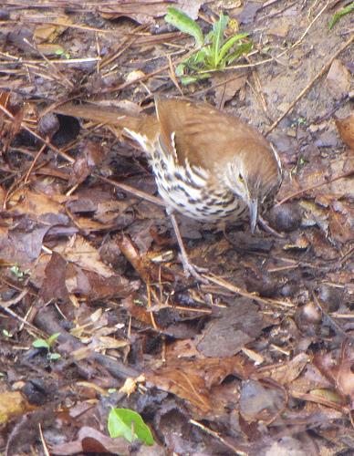 Brown thrasher hunting through leaf litter