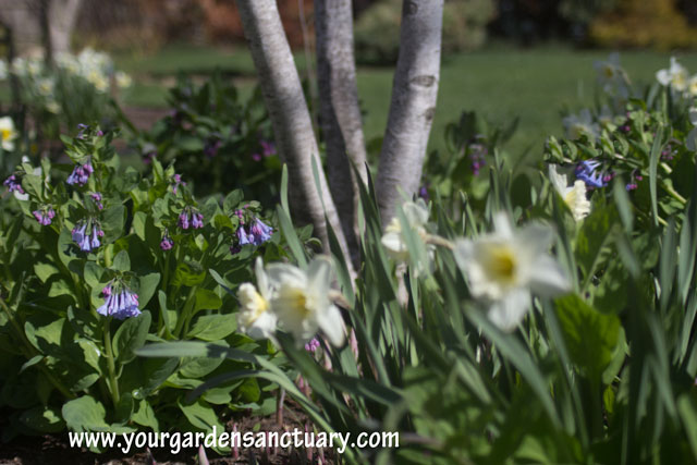 Virginia bluebells with birch and daffodils