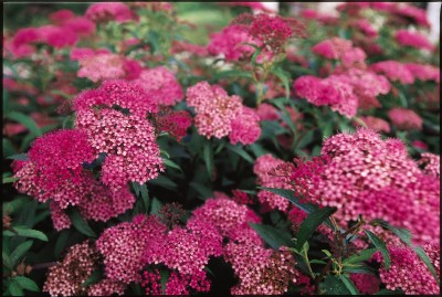 landscapers favorite shrubs some good some not so good
