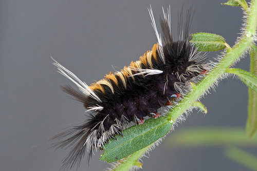 Milkweed Tussock Moth photo