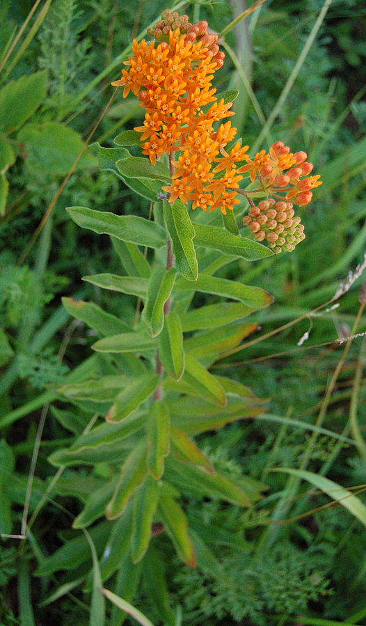 Butterfly weed stem with flowers