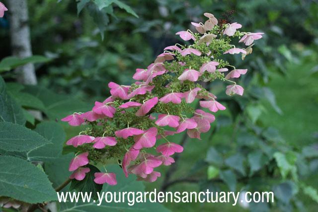 Oakleaf hydrangea bloom turning pink