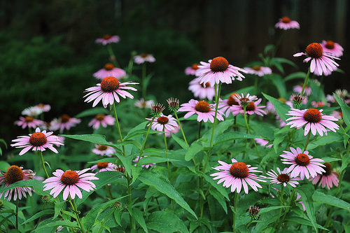 Landscapers favorite perennials purple coneflower
