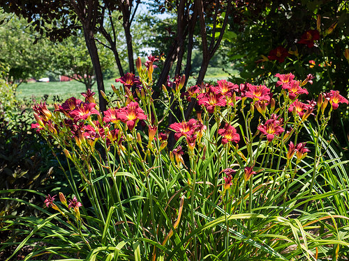 Landscapers favorite perennials pardon me daylily
