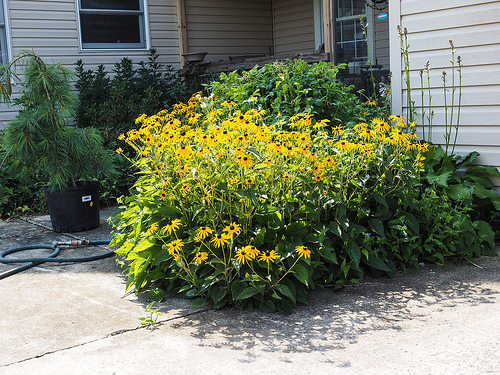 Landscapers favorite perennial goldsturm black eyed susan