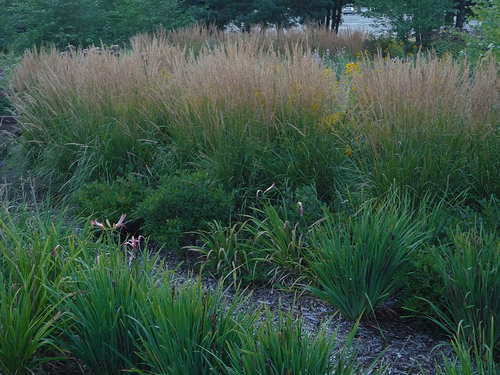 Landscapers favorite perennial grass is Karl Foerster