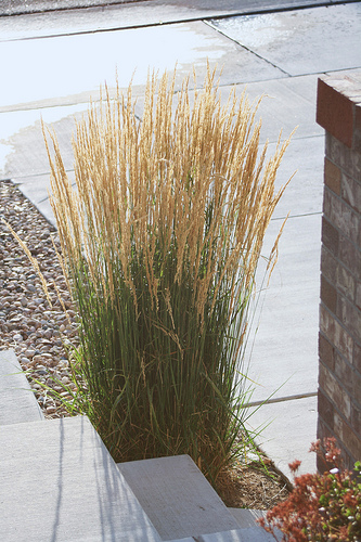 Landscapers favorite perennials Karl Foerster grass