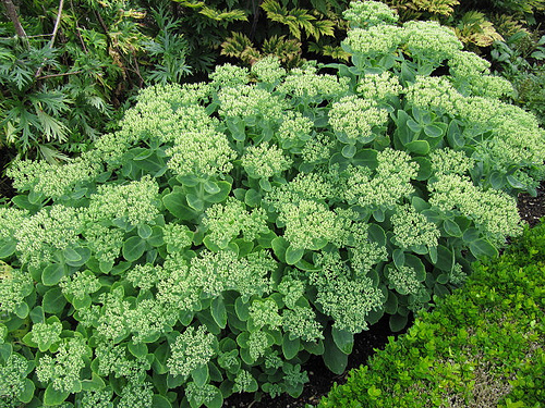 Landscapers favorite perennials autumn joy sedum