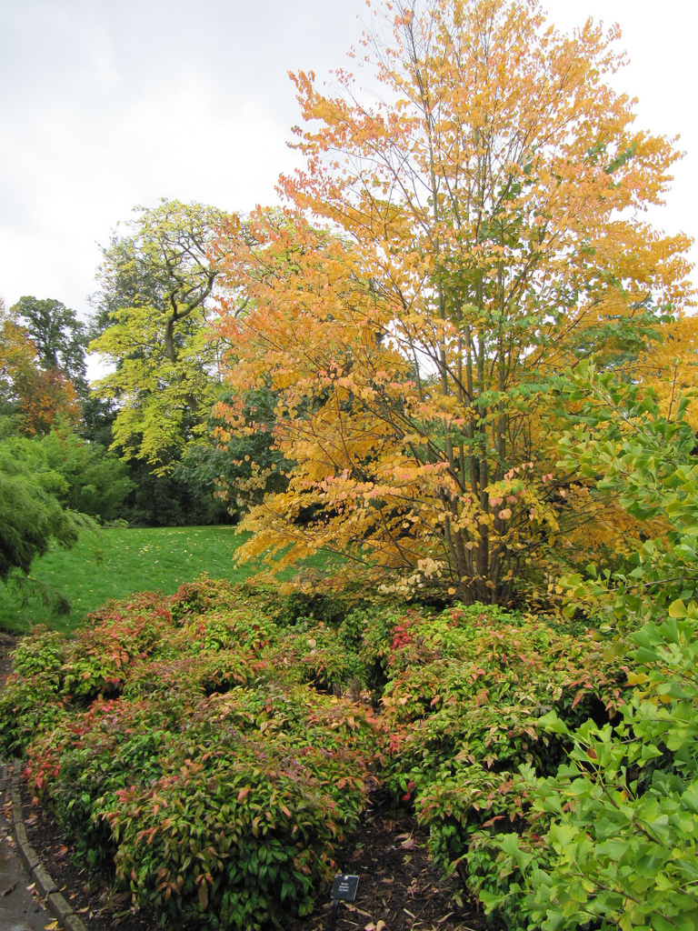 Katsura Tree Fall Color