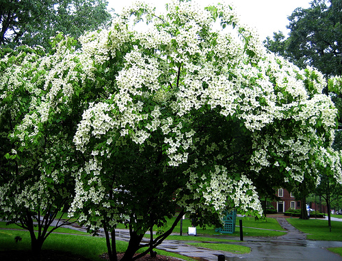 kousa dogwood photo