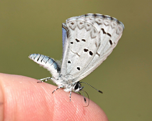 Spring Azure butterfly photo