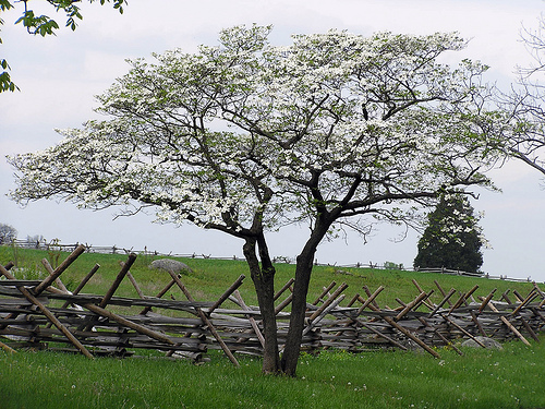 flowering dogwood trees photo