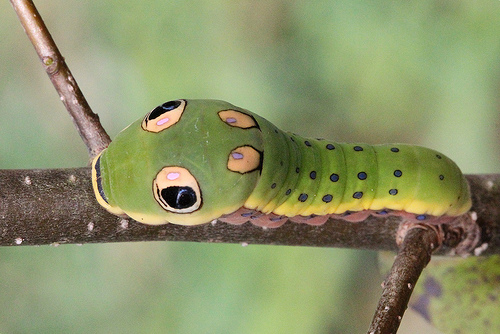 Papilio Troilus photo