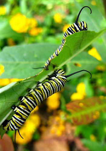 Danaus plexippus on butterfly weed photo