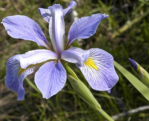 Iris virginica shrevei photo