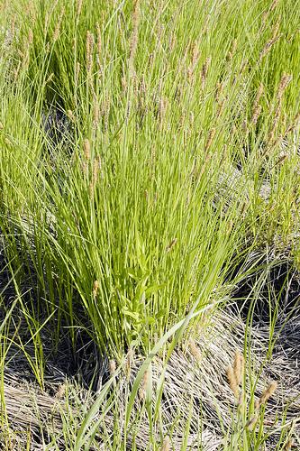 Carex stricta photo
